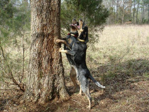 Bluetick Coonhounds Shiloh and Sabrina treeing