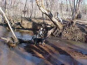 Get 'em Girls!  Our dogs at work.  Bluetick coonhounds treeing.