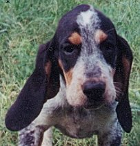 Bluetick coonhound pup